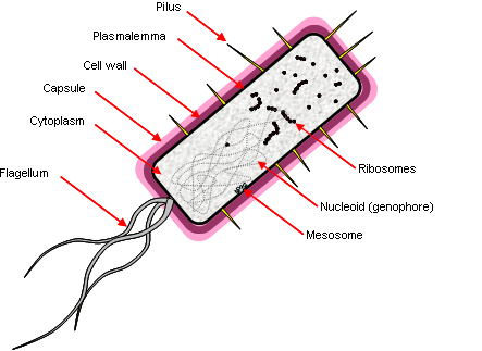 Prokaryotes are characterised by the lack of a nucleus and membranes