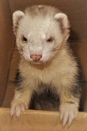 Boxed ferret detail.JPG